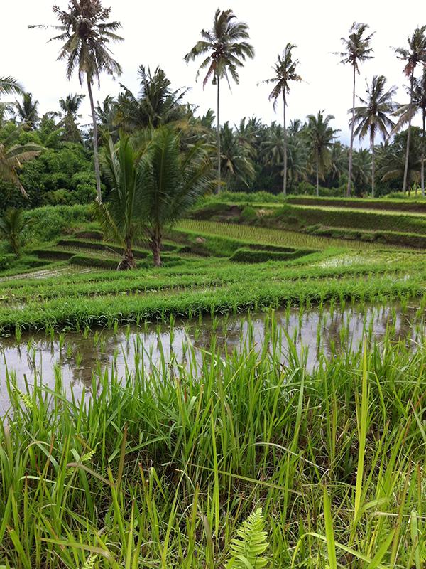 Bali-Ricefields
